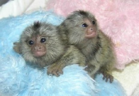 Home Trained marmoset monkeys