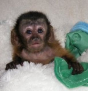 صور Diaper Trained Capuchin Monkeys For Sale 1