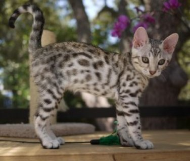 F1 Savannah Kitten For Sale