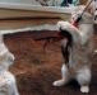 Fabulous Abyssinian Kittens For Lovely Homes