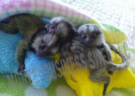 القرود Marmoset رائعتين
