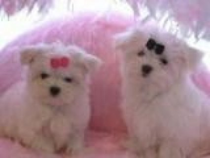 Maltese Puppies Available NOW!