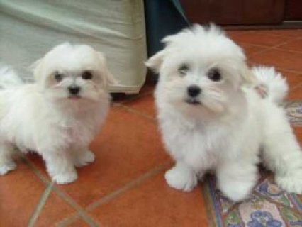 Marvelous Teacup Maltese puppies ready