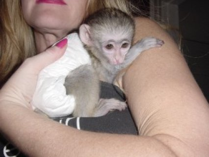 Female Capuchin Monkey for Re-homing