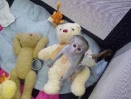 Beautiful Capuchin Monkeys Available