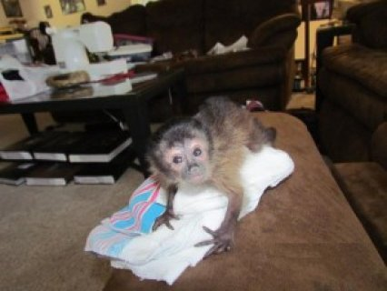 lovely mocapuchin monkeys for adoption