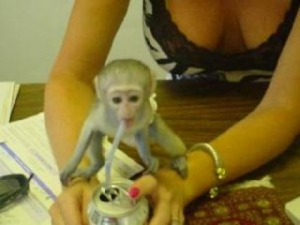 Very healthy male and female baby Capuchin monkeys for adoption