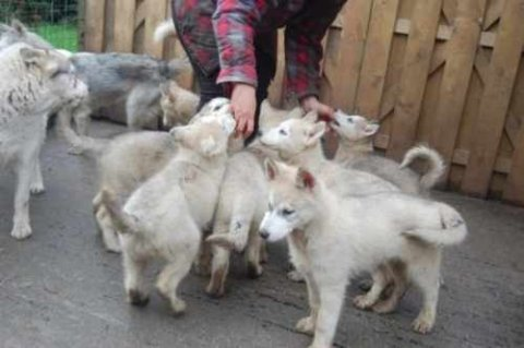 Beautiful and cute healthy Siberian Husky baby pupies for sale