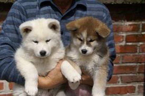 Healthy Akita Puppies ready