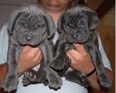 Sweet looking Neapolitan Mastiff puppies available.