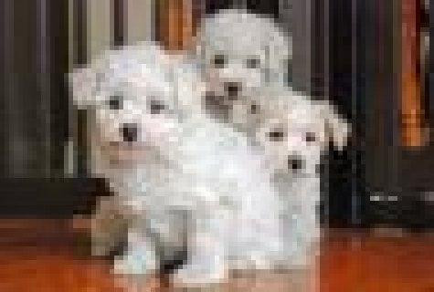 صور Healthy Bishon Frise Puppies 1