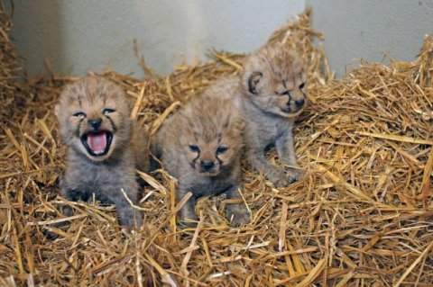 Tamed  cheetah cubs available for sale