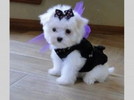 Jovial Teacup Maltese Pups for Sale