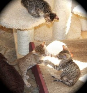Beautiful Savannah Kittens Available