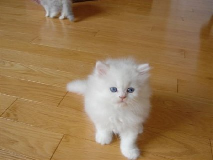 Teacup Persian kittens for new home