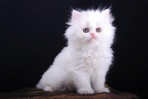 Female Teacup Persian Kitten for Adoption