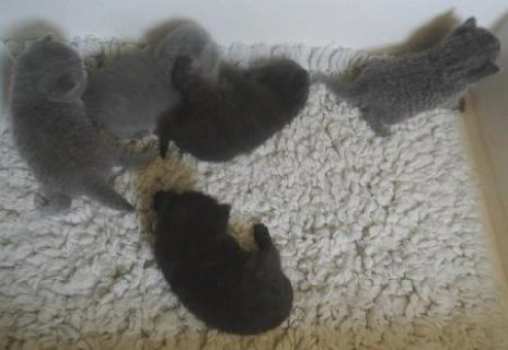 Beautiful Shorthair Kittens for sale