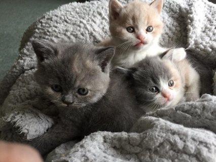 قطة شيرازى بيور