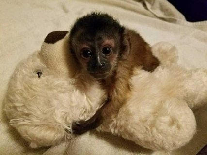 القرود الكبوشين المتاحة للبيع