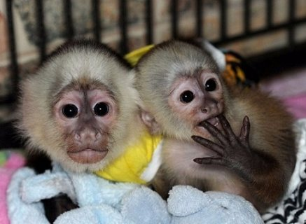 منزل مدرب طفل وجه القرود الكبوشي للبيع