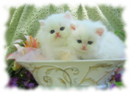 quality Persian kittens