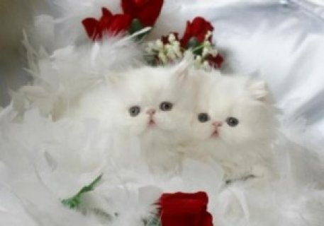 صور quality Persian kittens 2