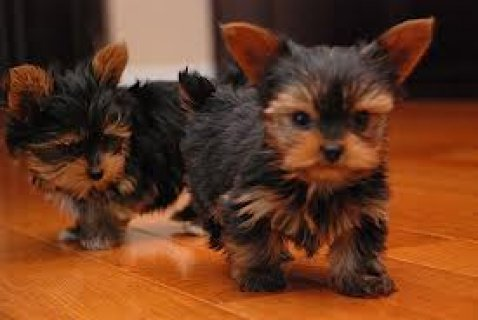 صور Absolutely Beautiful Teacup Yorkie Puppies Now ready to go to  1