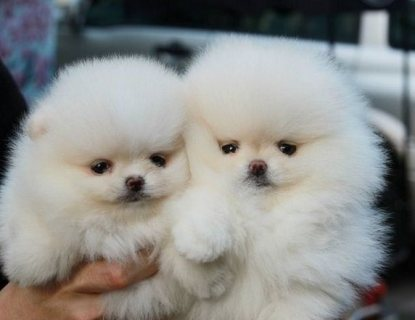 للبيع كلب شيرازي