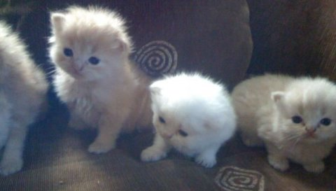 Persian kittys.1