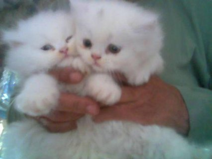 Persian Kittens for sale	3331s