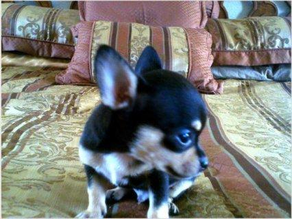 Micro Teacup Chihuahua 6566