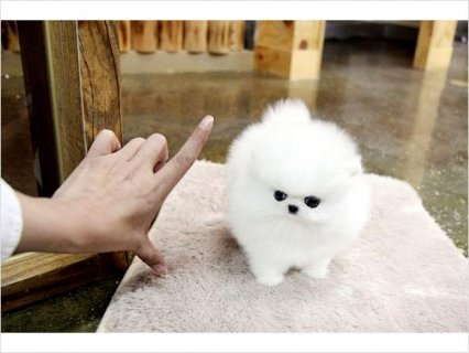 Teacup size Pomeranian puppies available3