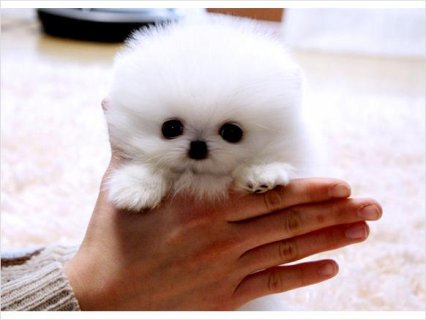 Teacup size Pomeranian puppies available,unjhf35