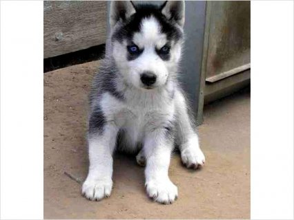 Siberian Husky puppies 6