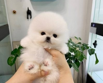 Pure White Boy Pomeranian