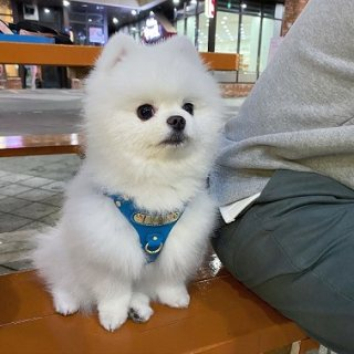 Proven stud Pomeranian puppy