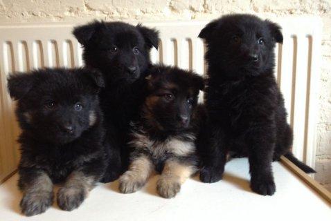 Super german shepherd puppies needing a forever home