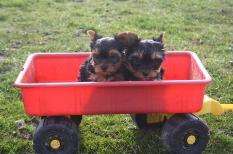 Cute male and female tiny teacup YORKSHIRE puppies for  Adoption