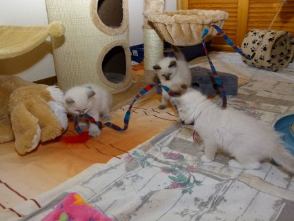 صور Ragdoll Kittens Ready for adoption  2