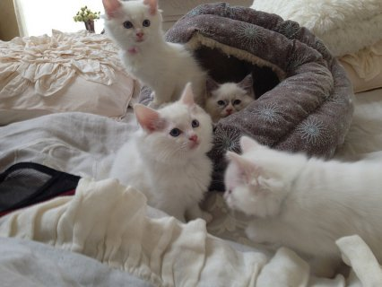 Snow White Ragdoll Kittens for good homes(14weeks old)