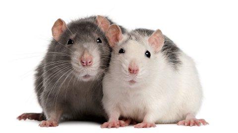 FANCY RATS FOR SALE