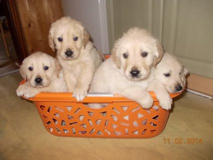 Male and female golden retreiver  puppies are still available