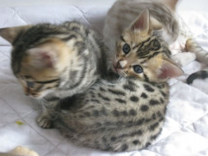 صور Lovely and cute looking Bengal kittens available. 2