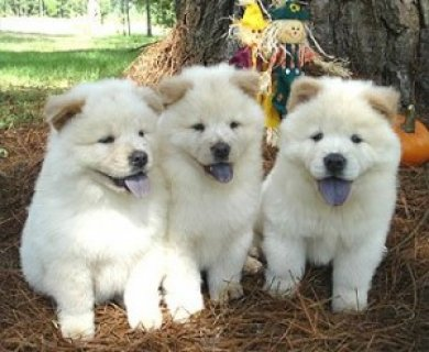 Well trained chow chow puppies for adoption