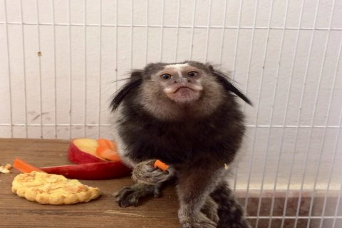 Marmoset monkey for sale rare and from Brazil