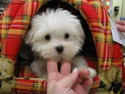 Top Class Teacup Maltese Pups