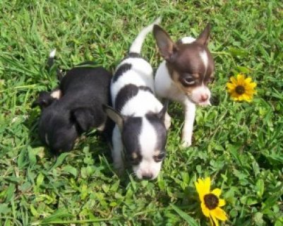 Beautiful Tiny Chihuahua Puppies