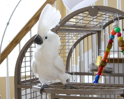 Cockatoo parrots for adoption