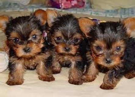 We have teacup Yorkie puppies for adoption. Our teacup Yorkie s