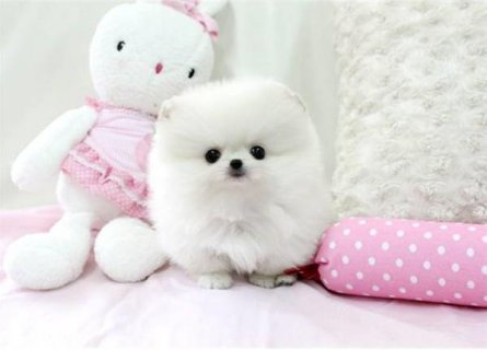 Two Gorgeous Pomeranian Puppies for adoption